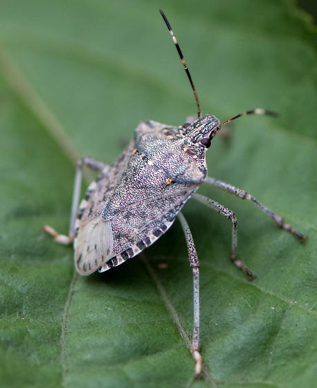 Shield bug/stink bug? - Halyomorpha halys