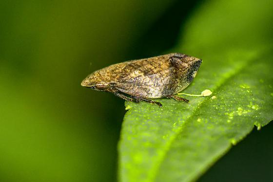 spittle bug? - Lepyronia