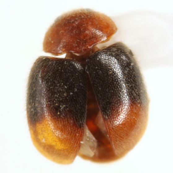 Scymnus (Pullus) semiruber Horn - Scymnus semiruber