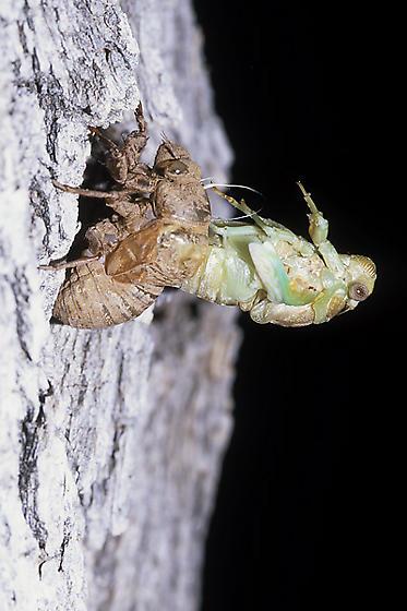 Molting Cicada - Megatibicen dealbatus