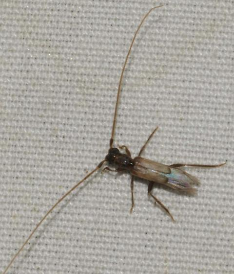 Cerambycidae - Methia necydalea