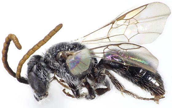 Sphecodosoma dicksoni - male