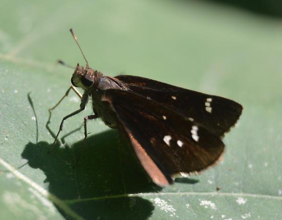 dark coloured skipper - Lerema accius