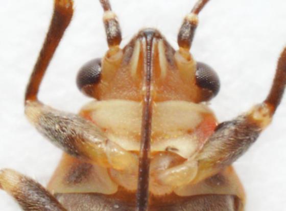 Ochrimnus mimulus - male