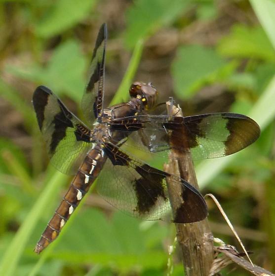 Plathemis lydia - female