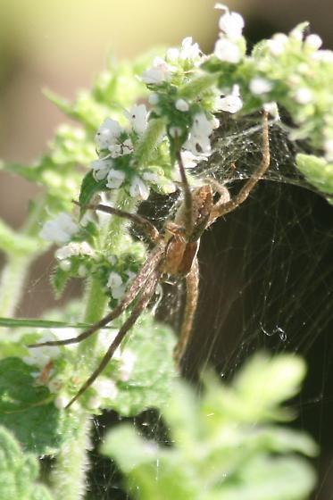Spider on mint - Pisaurina mira