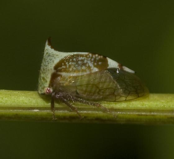 Ceresa - Stictocephala albescens