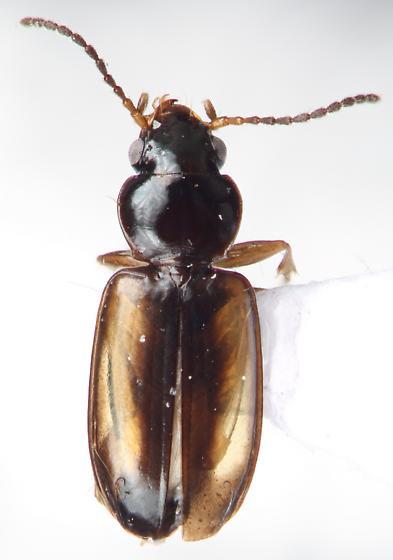 Tachys cf. vittiger LeConte - Tachys halophilus