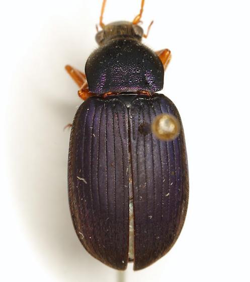 Chlaenius cf. laticollis Say - Chlaenius laticollis