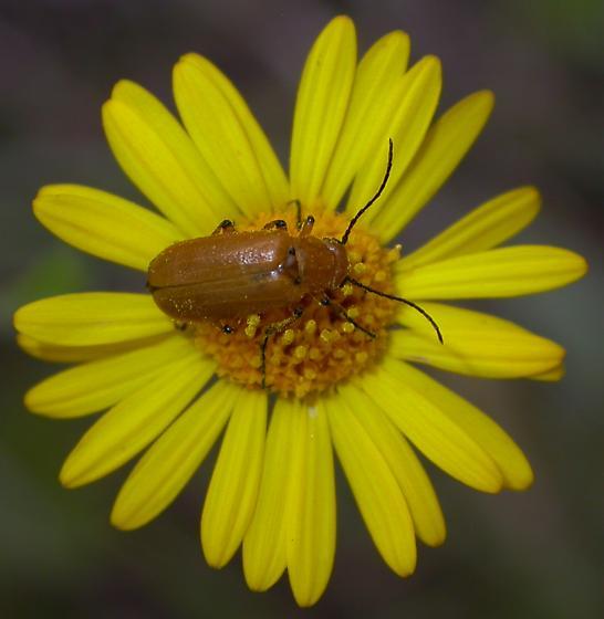 Nemognatha #1 - Nemognatha punctulata