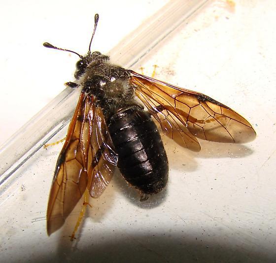 Zaraea or Cimbex or Trichiosoma? - Trichiosoma triangulum