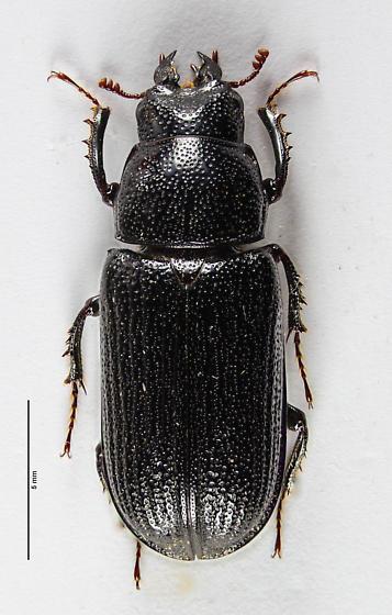 Female Ceruchus striatus...   - Ceruchus striatus - female