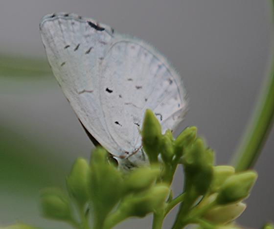 Possible Summer Azure ( Calastrina neglecta ) ?? nectaring on Dog Bane poss. ( Apocynum cannabinum ) - Celastrina