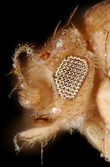 Wingless Scuttle Fly, lateral head - Puliciphora borinquenensis - female