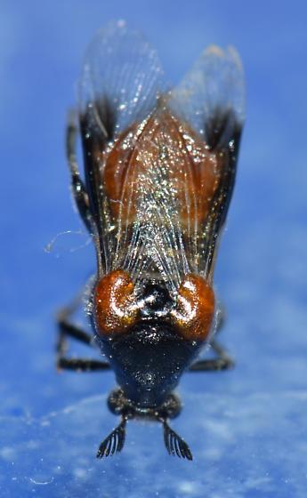 Unknown - Ripiphorus - female
