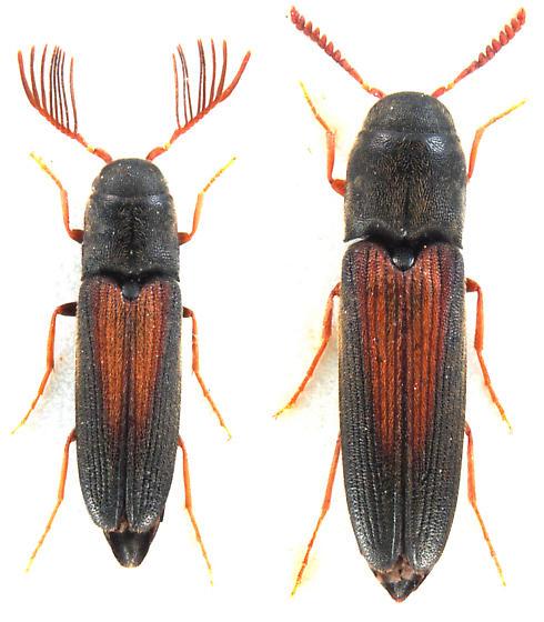 Isorhipis obliqua (Say) - Isorhipis obliqua - male - female