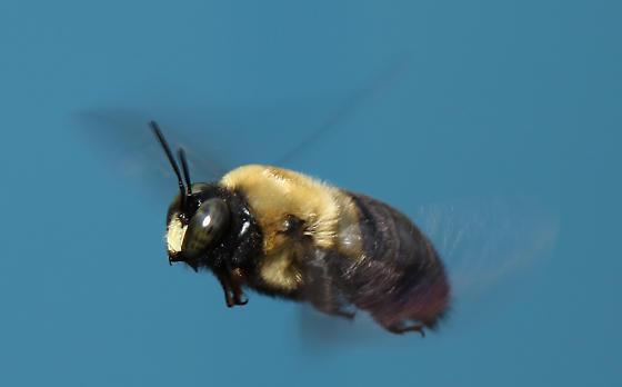 Male Carpenter Bee - Xylocopa virginica - male