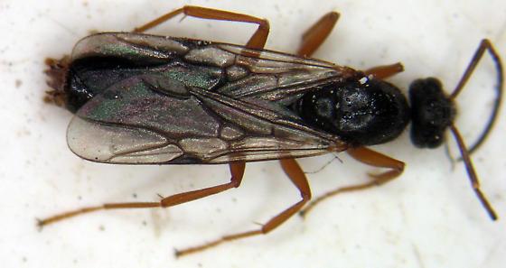 Hymenoptera - Formica - male