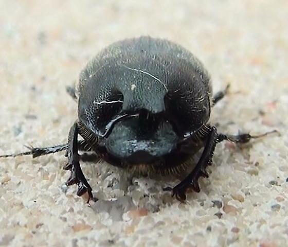 Scarabaeidae: Onthophagus hecate? - Onthophagus hecate - male