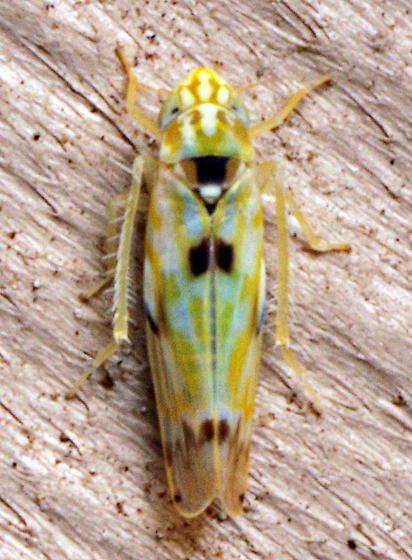 Leafhopper - Erythroneura octonotata