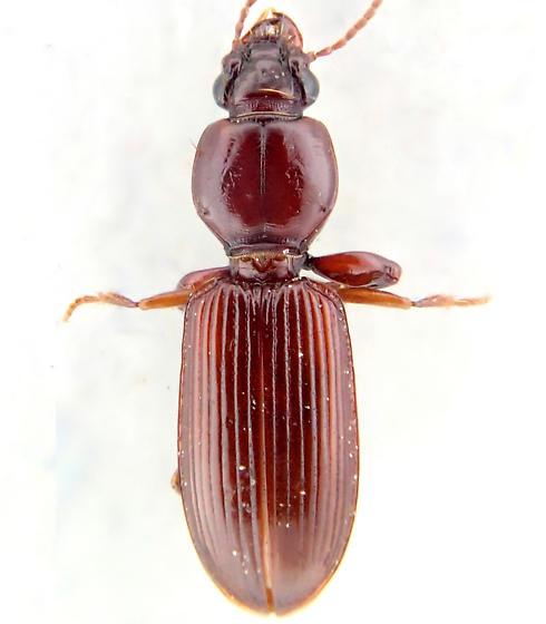 Beetle - Clivina rufa