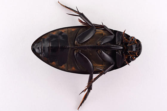 Diving Beetle of Some Kind ? - Hydrophilus triangularis