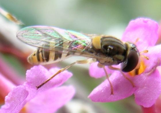 Syrphid Fly  - Sphaerophoria contigua - female