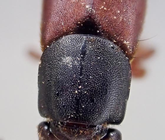 Platydracus immaculatus (?) - Platydracus immaculatus