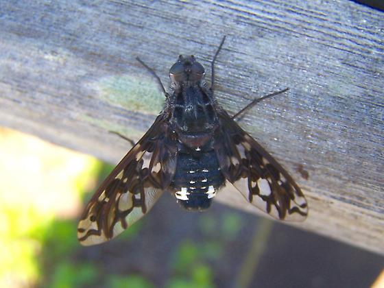 Tiger Bee Fly [Xenox tigrinus] - Xenox tigrinus