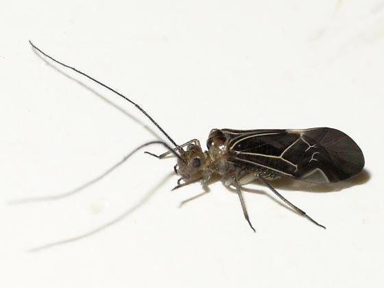 Barklouse - Cerastipsocus venosus