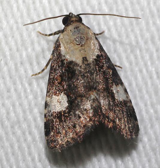 Pretty Owlet Moth - Lithacodia phya
