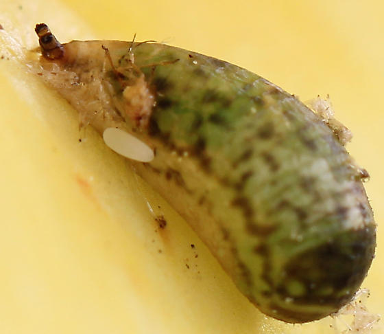 Syrphid Pupa