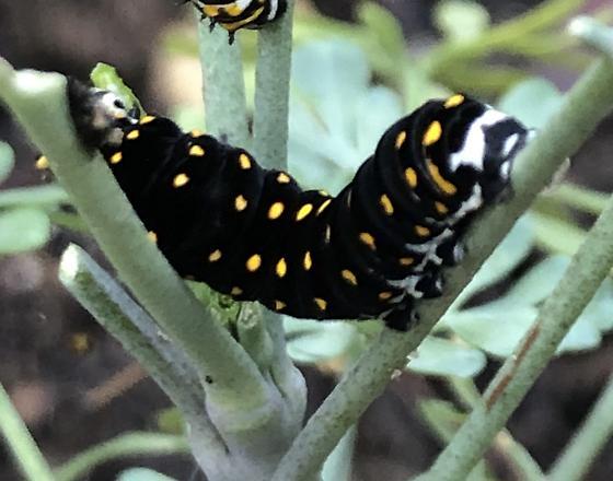 Black caterpillar with yellow spots, white around bottom near feet - Papilio polyxenes
