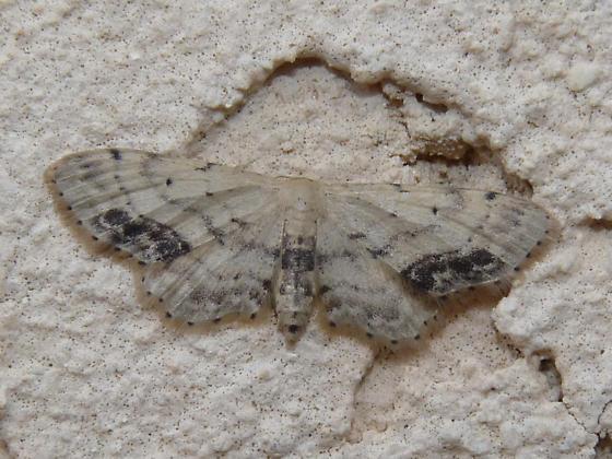 Eupithecia sp.? - Idaea dimidiata