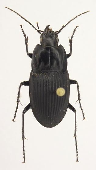 Dicaelus furvus - female