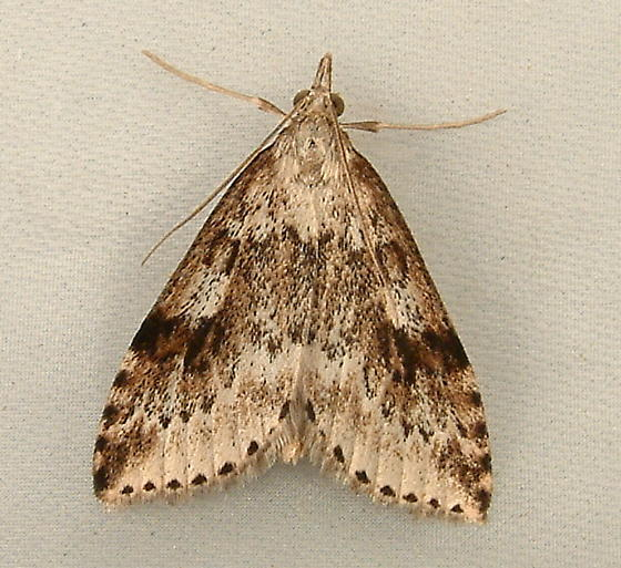 1829 Udea washingtonalis  - Washington Udea Moth 5081 - Udea washingtonalis