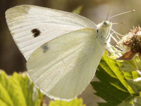 Cabbage White - Pieris rapae - female