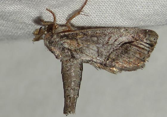 Moth ID request. - Paectes