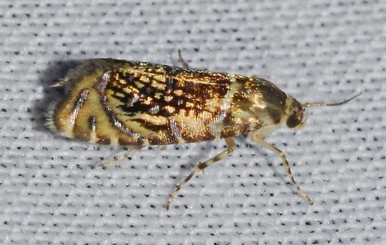 Glyphipterix quadragintapunctata