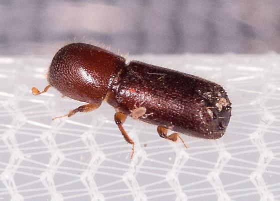 Beetle for ID - Xyleborus celsus