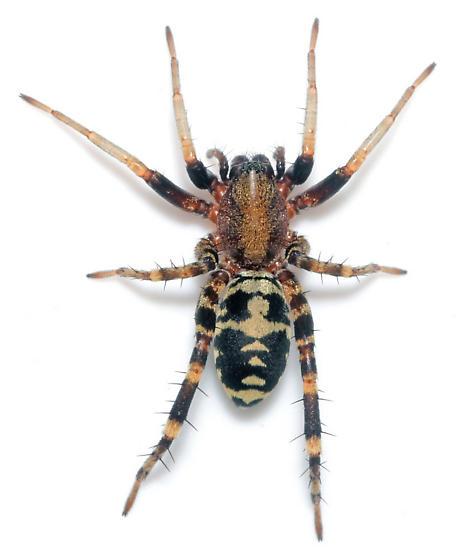 C. dorsata - penultimate dorsal - Castianeira dorsata - female