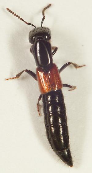 Unknown Rove beetle - Gauropterus fulgidus