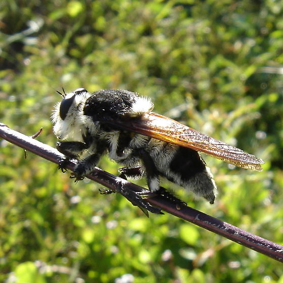 Bee-like Robber Fly? - Mallophora bomboides