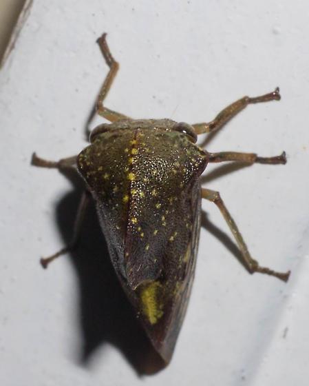 Yellow-spotted treehopper - Telamona monticola