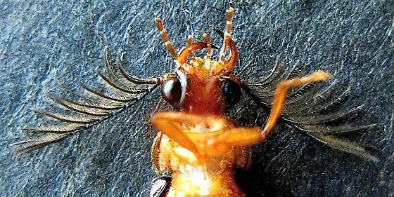 Western Banded Glowworm Beetle - Zarhipis integripennis