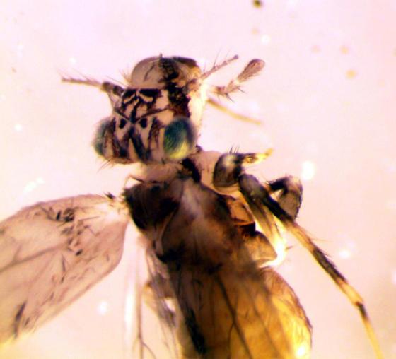 inside house - Echmepteryx hageni