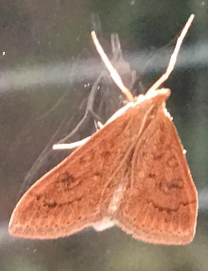 Maine moth  - Udea rubigalis