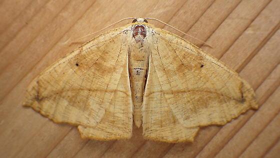 Geometridae: Prochoerodes lineola - Prochoerodes lineola