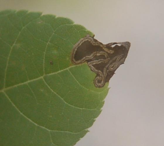 Lake Crabtree leaf miner on Juglans nigra D2214 Stigmella 2020 1.1 - Stigmella juglandifoliella