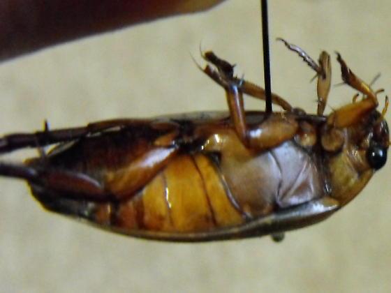 Dytiscus sp. - Dytiscus cordieri